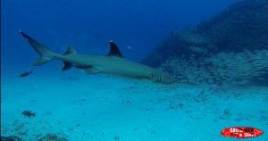 white tip reef shark sea animals