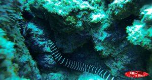 Zebra moray sea animals