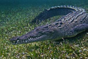 American Crocodile at Corcovado National Park