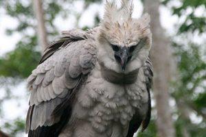 Harpy Eagle at Corcovado National Park