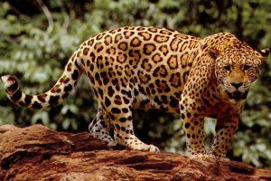 Jaguar at Corcovado National Park
