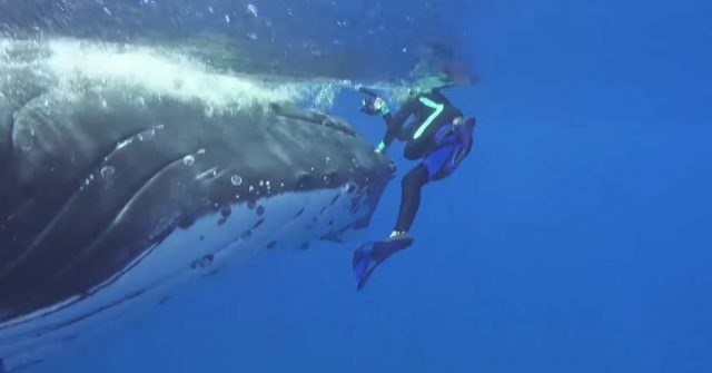 Diver saved by a huge humpback whale