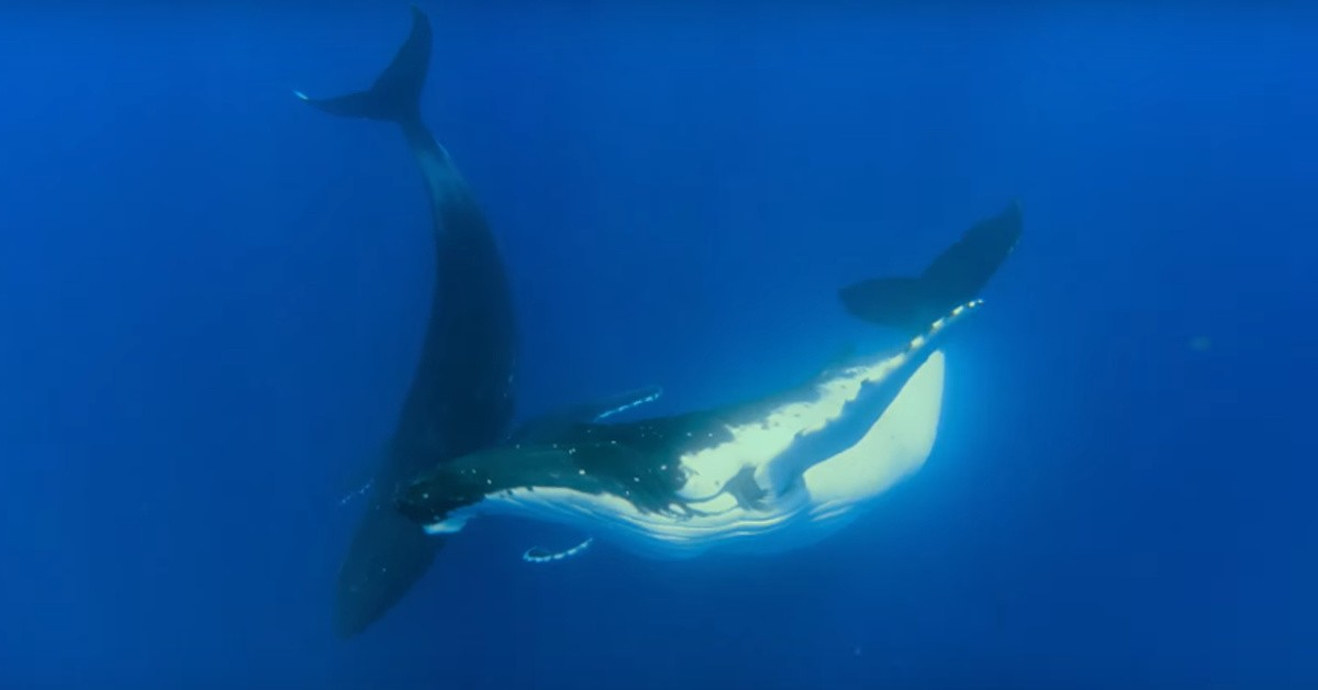 Two humpback whales swimming together