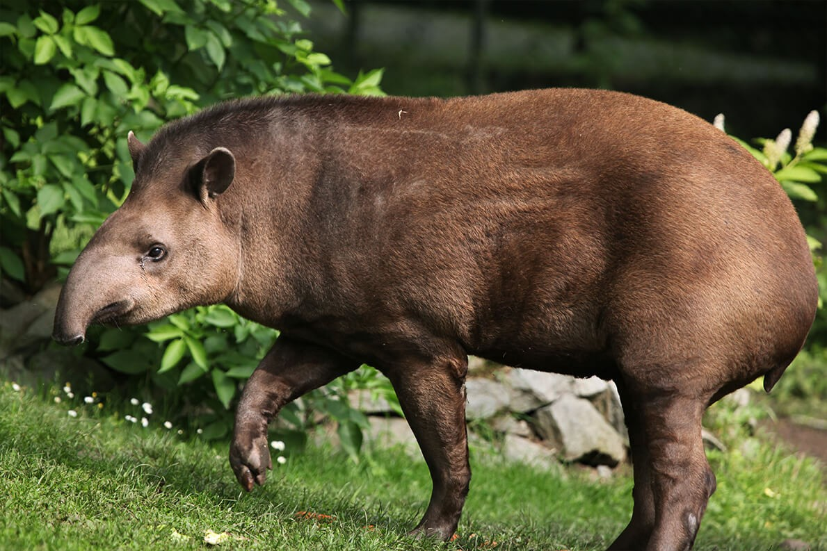 Tapir Corcovado National Park Costa Rica