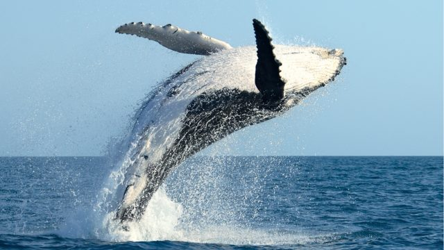 Why Humpback Whales Breach