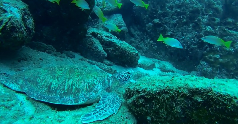 Green turtle at Caño Island Costa Rica diving destination