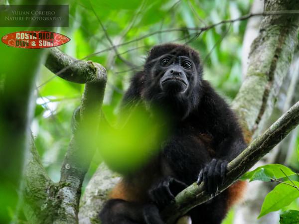 Mono at Corcovado National Park