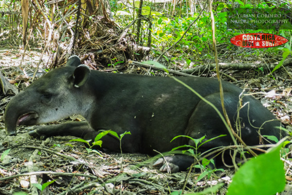 Tapir at Corcovado National Park