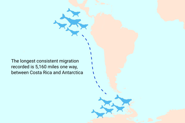 Humpback Whales Migration Path