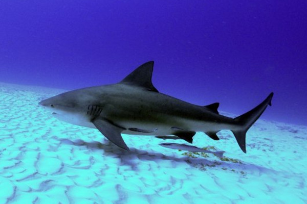 Bat island is the home of the bull shark