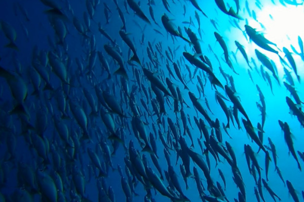 Fishes at Caño Island