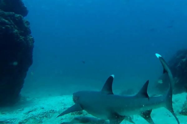 Sharks at Caño Island