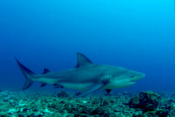 Bat Islands Bull Shark diving