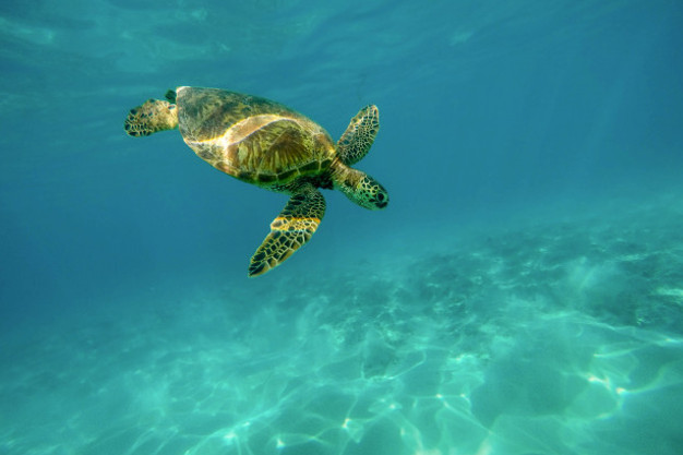 Turtle at Caño Island during Snorkeling